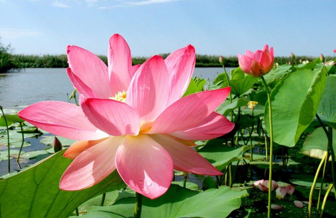 Цветение Лотосов в Астрахани