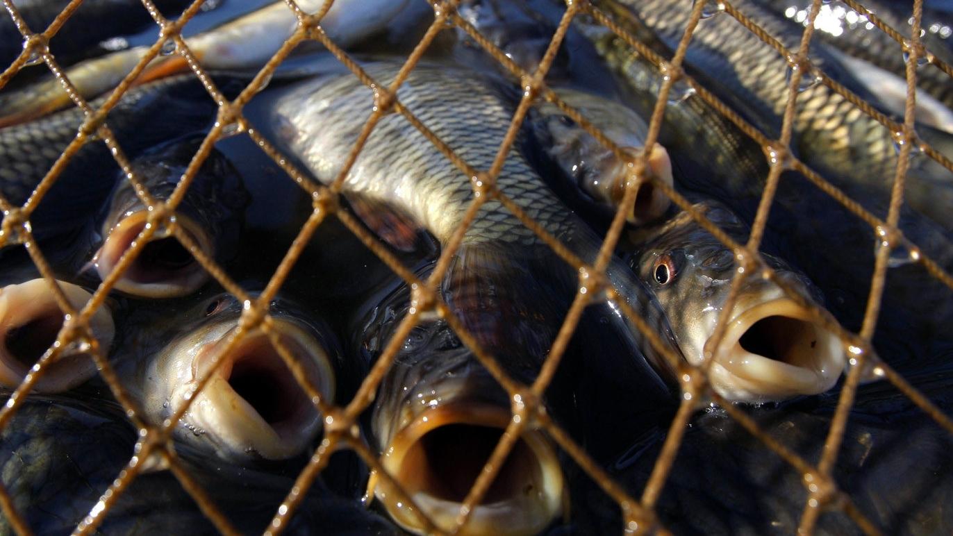 Рыба в сети браконьеров