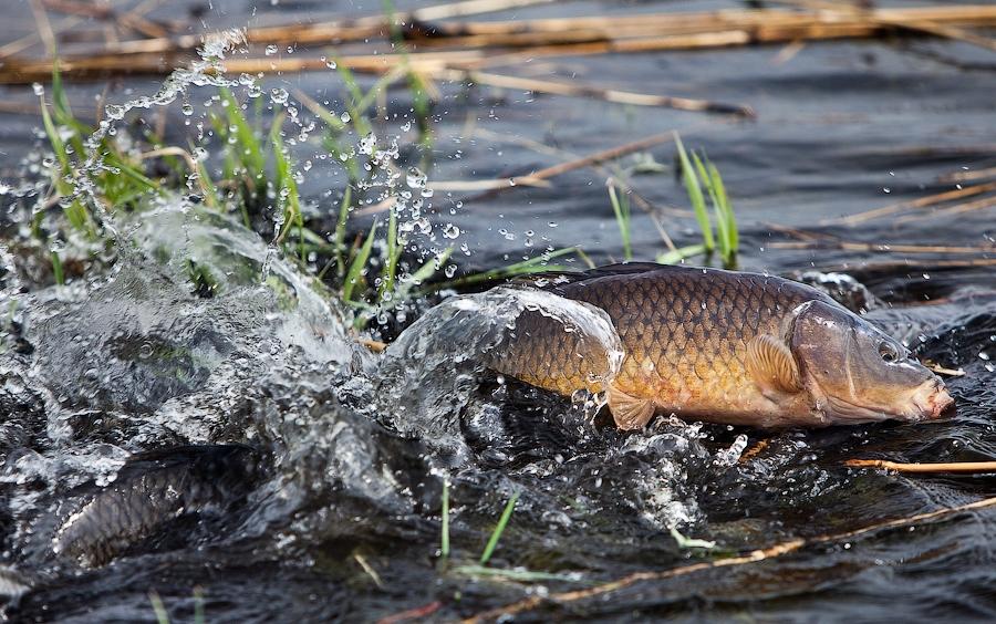 Нерест рыбы