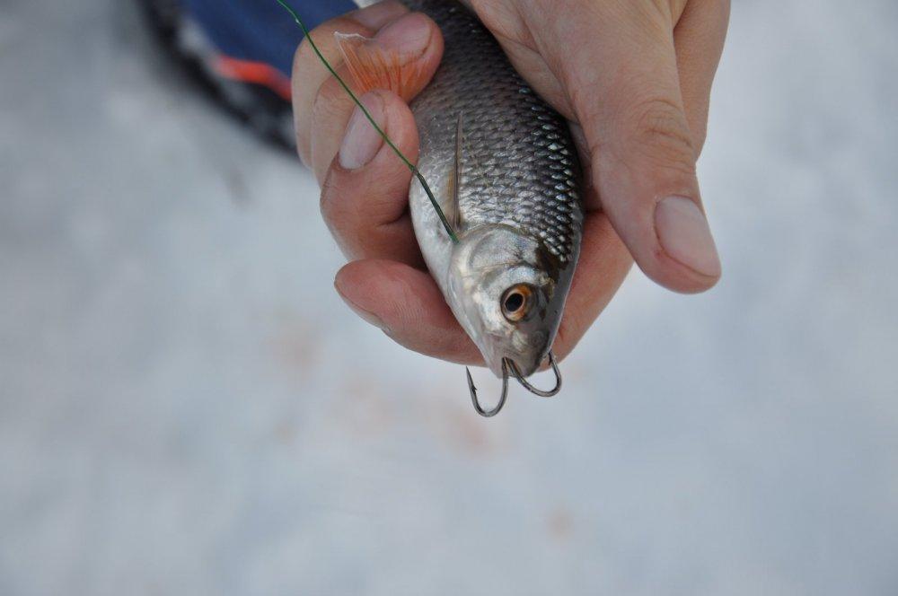 Живец зимой для рыбалки