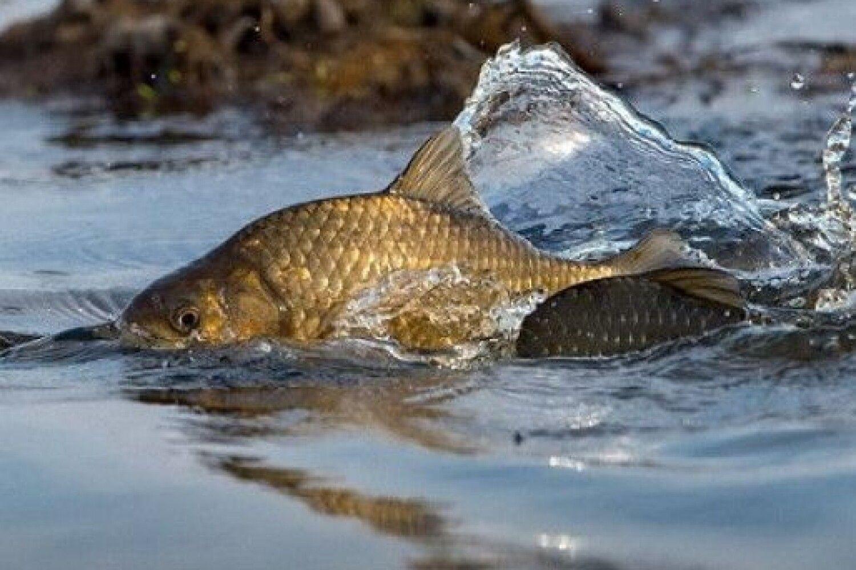 Нерест пресноводных рыб
