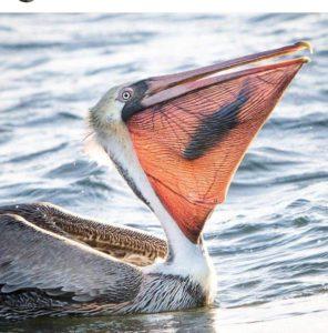 Пеликан с рыбой